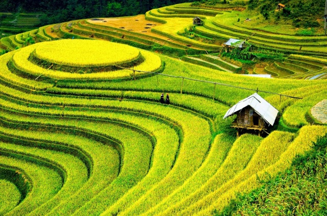 enchanting-travels-vietnam-tours-rice-fields-on-terraced-of-mu-cang-chai-yenbai-vietnam.